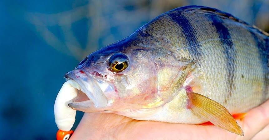 5 Top Rigs For Perch Fishing