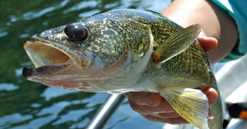 Walleye Trolling Secrets: 3 Things You Need To Know Now